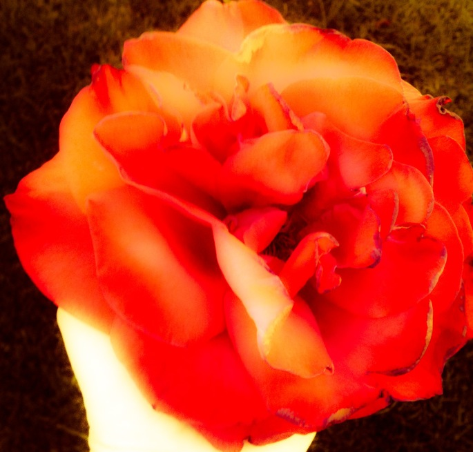 A rose for a bright and sunny Tuesday
